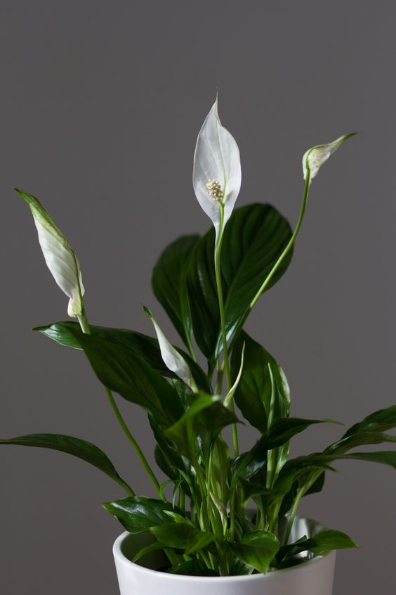 peace lily - a beautiful indoor plant for office or home