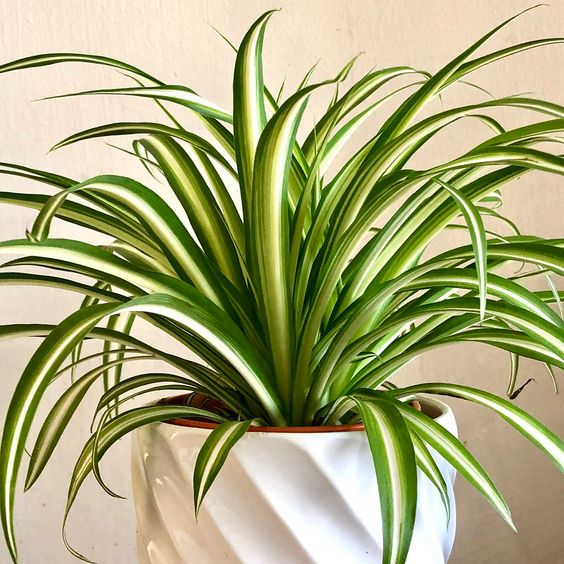 spider plants for indoor office